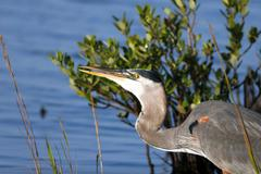 great blue heron, ardea herodias - stock photo