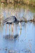 great blue heron, ardea herodias - stock photo
