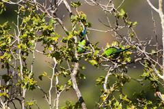Black-hooded parakeet, nandayus nenday Stock Photos