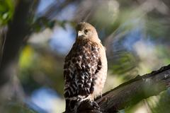 red-tailed hawk, buteo jamaicensis - stock photo