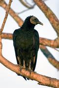 Turkey vulture, cathartes aura Stock Photos