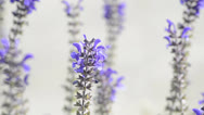 Stock Video Footage of Sage, medicinal plant blooming