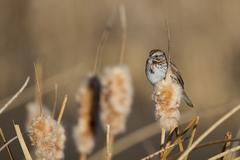 savannah sparrow, passerculus sandwichensis - stock photo