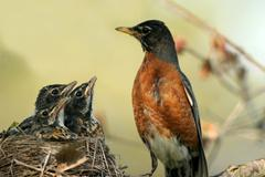 american robin, turdus migratorius - stock photo