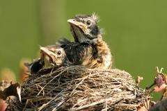 American robin, turdus migratorius Stock Photos