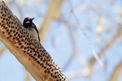 Acorn woodpecker, melanerpes formicivorus Stock Photos