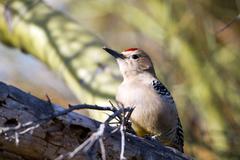 Gila woodpecker, melanerpes uropygialis Stock Photos