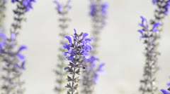 Sage, medicinal plant blooming Stock Footage