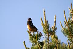 spotted towhee, pipilo maculatus - stock photo