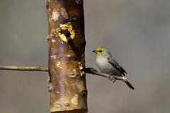 verdin, auriparus flaviceps - stock photo