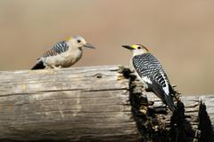 Golden-fronted woodpecker, melanerpes aurifrons Stock Photos
