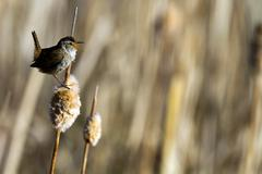 Marsh wren, cistothorus palustris Stock Photos