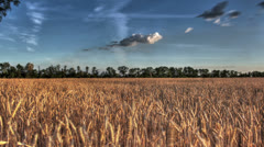Wheat Field at sunset. time lapse. HDR - stock footage