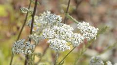 Yarrow, medicinal plant Stock Footage