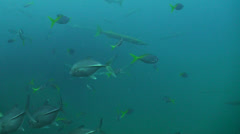 Barracudas and fish underwater Stock Footage