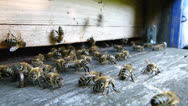 Stock Video Footage of Bees at the inlet to the hive