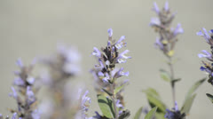Sage, medicinal plant blooming Stock Footage