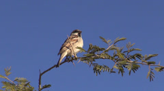 House sparrow on branch in India Stock Footage
