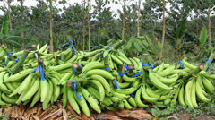 Colombian banana plantation Stock Footage