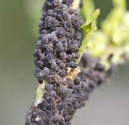 aphid - stock photo