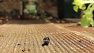 Stock Video Footage of pill bug playing dead