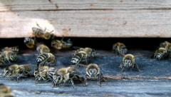 Bees at the inlet to the hive. Stock Footage