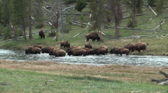 Herd of yellowstone buffalo crossing the madison river Stock Footage