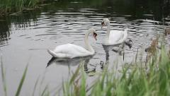 Swans family swimming in a river Stock Footage