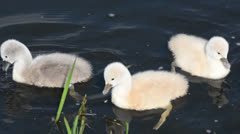 Close up of baby swans swimming in the pond and feeding Stock Footage