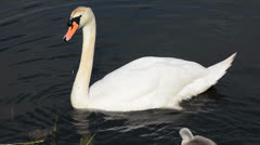 Beautiful white swan swimming in the pond Stock Footage