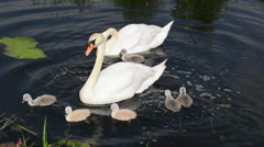 Swans family feeding in a river Stock Footage