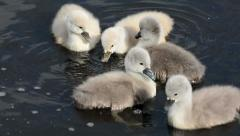Baby swans swimming and feeding in a river Stock Footage