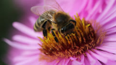 Bees on the flower. Stock Footage