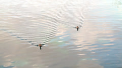 Ducks floating in the water. Stock Footage