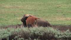 Baby buffalos in yellowstone national park Stock Footage