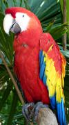 Colorful scarlet macaw - stock photo
