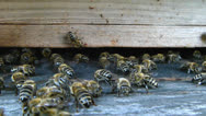 Stock Video Footage of Bees at the inlet to the hive.