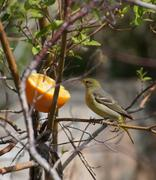 western tanager - stock photo