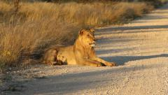 African lion, African wildlife safari, South Africa - stock footage