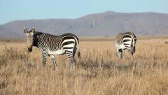 Grazing Cape Mountain Zebras Stock Footage
