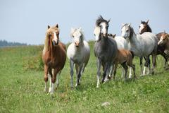 Batch of welsh ponnies running together on pasturage Stock Photos