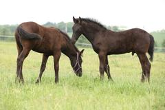 two friesian foals standing on pasturage - stock photo