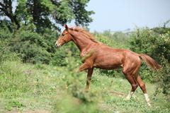 nice young horse running uphill - stock photo