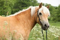 gorgeous haflinger with bridle - stock photo