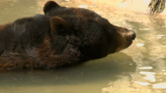 Stock Video Footage of Black Bear Drinks Water