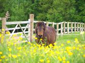 Stock Photo of Alli-boo in the buttercups .