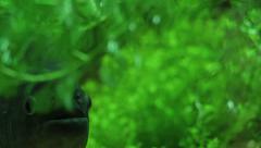 Lurking Sinister Dangerous Piranha hiding in green 4 Stock Footage