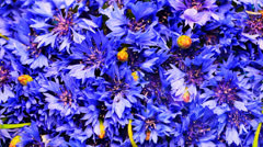 Background of cornflowers with sun beam Stock Footage