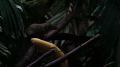 Northern tree shrew (tupaia) investigating a banana Stock Footage