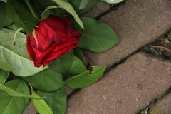 mourning red rose - stock photo